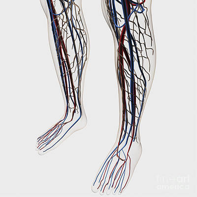 Medical Illustration Of Arteries, Veins Poster by Stocktrek Images