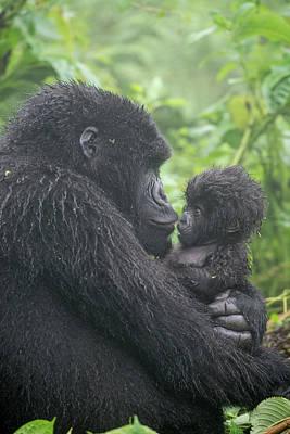 Mountain Gorilla, Gorilla Beringei Poster by Tom Murphy