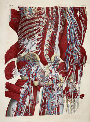 Muscular System Poster by British Library