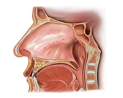 Nasal Cavity Poster by Asklepios Medical Atlas