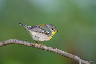 Northern Parula (parula Americana Poster by Larry Ditto