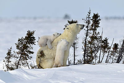 Polar Bear Mother And Cubs Poster by Dr P. Marazzi