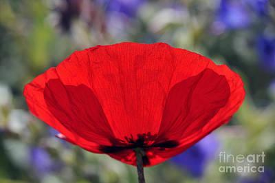 Poppy Flower Poster by George Atsametakis