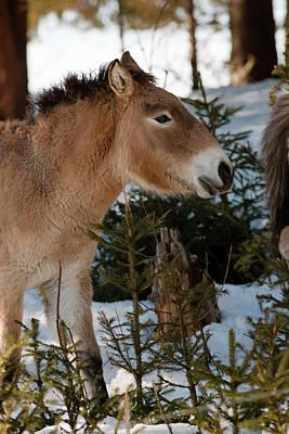 Przewalski's Horse Or Takhi (equus Poster