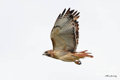 Red Tail Hawk Poster by Steve Javorsky