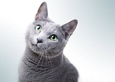 Russian Blue Cat Poster by Nailia Schwarz