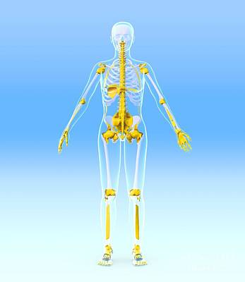 Skeleton And Ligaments, Artwork Poster