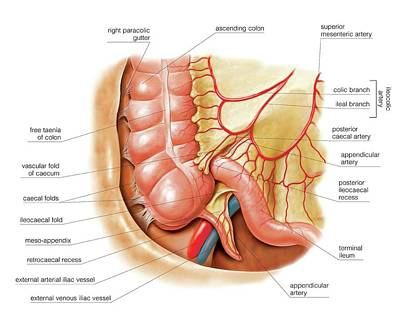 Small Intestine Poster by Asklepios Medical Atlas