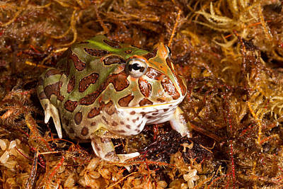 South American Horned Frog Poster