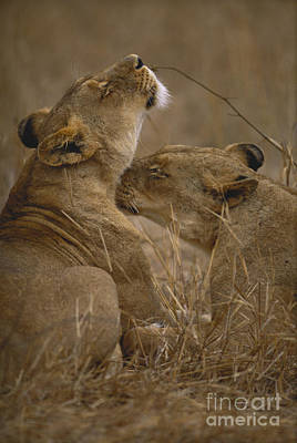 Two Lions Poster by Art Wolfe