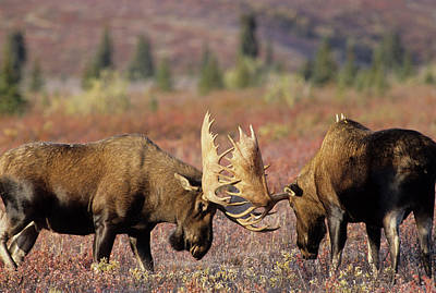 Usa, Alaska, Bull Moose, Denali Poster by Gerry Reynolds