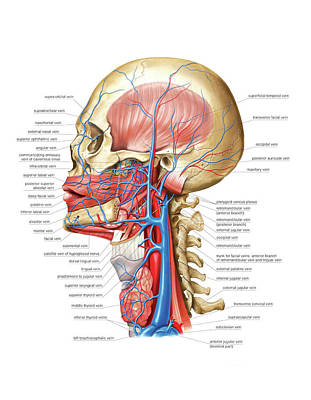 Venous System Of The Head And Neck Poster by Asklepios Medical Atlas