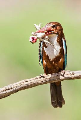 White-throated Kingfisher Poster by Photostock-israel
