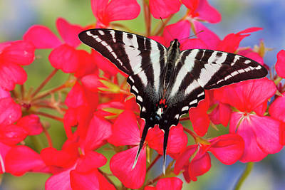 Zebra Swallowtail North American Poster by Darrell Gulin