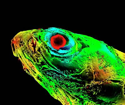 Zebrafish Head Poster by K H Fung