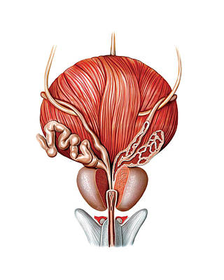 Male Genital System Poster by Asklepios Medical Atlas