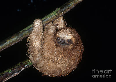 Baby Three-toed Sloth Poster