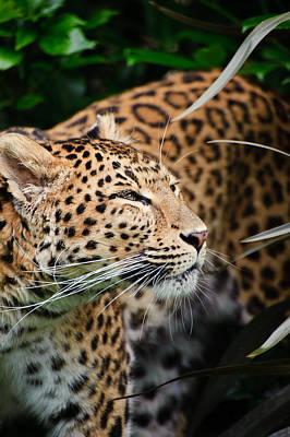 Beautiful Leopard Panthera Pardus Big Cat Amongst Foliage Poster