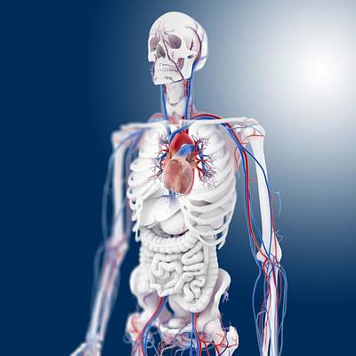 Cardiovascular System, Artwork Poster by Science Photo Library