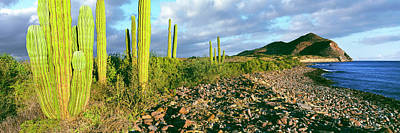 Cardon Cactus Pachycereus Pringlei Poster by Panoramic Images