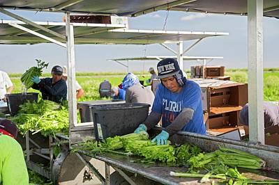Celery Harvest Poster