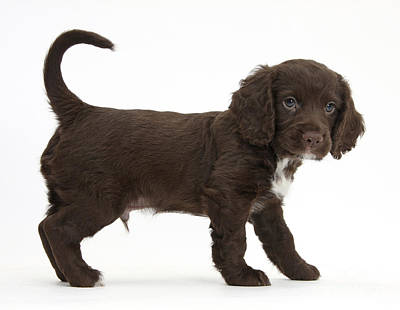 Cocker Spaniel Puppy Poster