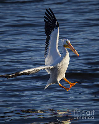 Great White Pelican On The Water Poster by Twenty Two North Photography
