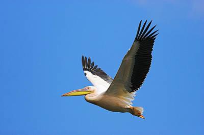 Great White Pelican (pelecanus Poster by Martin Zwick