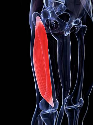 Human Thigh Muscle Poster