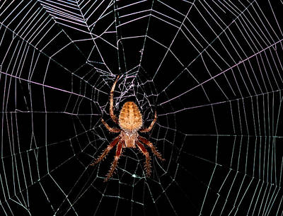 7 Legged Spotted Orb Weaver Poster by Lara Ellis