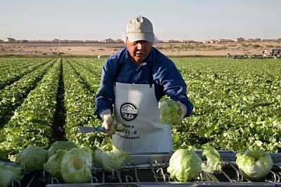 Lettuce Harvest Poster