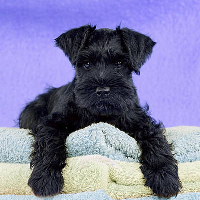 Miniature Schnauzer Puppy Poster
