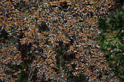Monarch Butterflies Poster by Carol Ailles