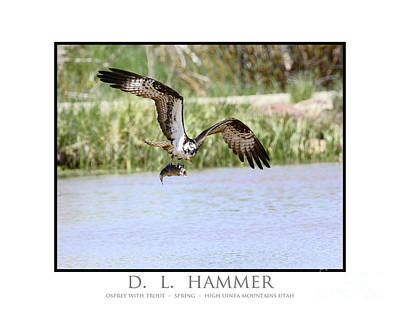 Osprey With Trout Poster by Dennis Hammer