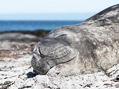 Southern Elephant Seal (mirounga Leonina Poster by Martin Zwick