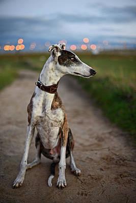 Spanish Greyhound Poster by Nano Calvo