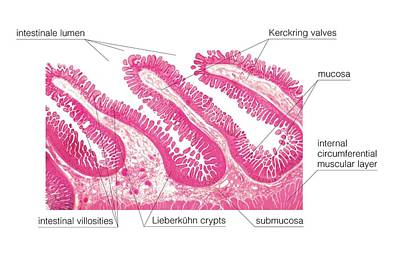 Structure Of Intestinal Tract Poster by Asklepios Medical Atlas