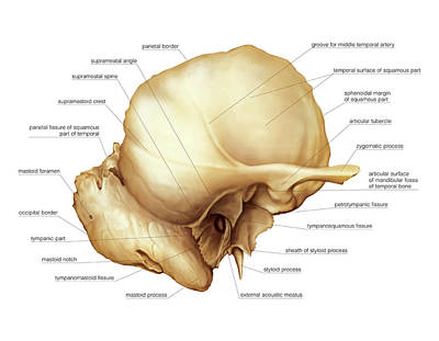 Temporal Bone Poster