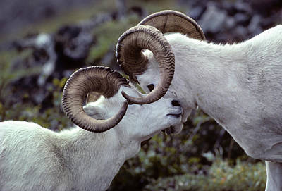 Usa, Alaska, Dall Sheep, Dall Ram Poster by Gerry Reynolds