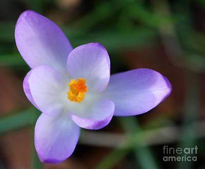 Vibrant Spring Crocus Poster
