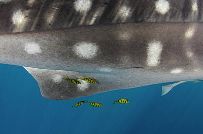 Whale Shark And Golden Trevally Poster by Pete Oxford