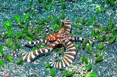 Wonderpus Octopus Poster