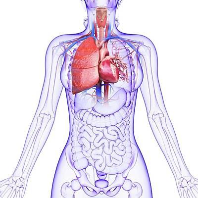 Human Cardiovascular System Poster
