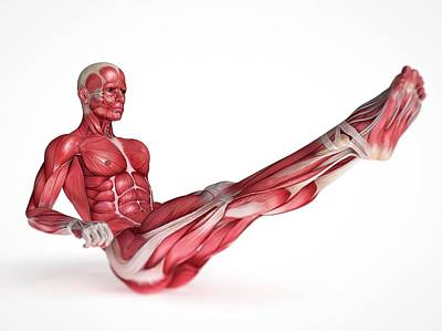 Human Muscular System Poster