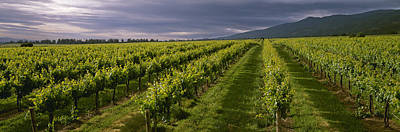 Agriculture - Wine Grape Vineyard Poster by Timothy Hearsum
