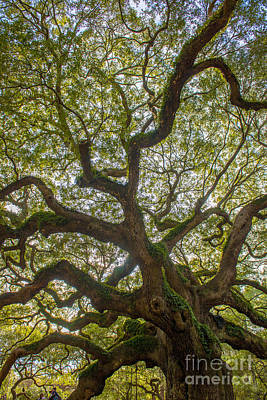 Island Angel Oak Tree Poster