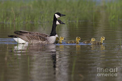 Canada Geese And Goslings Poster
