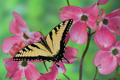 Eastern Tiger Swallowtail Papilio Poster by Darrell Gulin