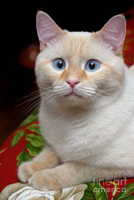 Flame Point Siamese Cat Poster