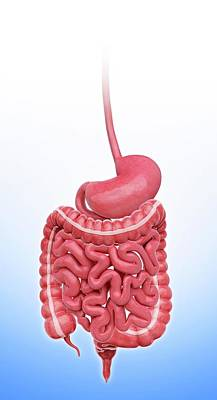 Human Stomach Poster
